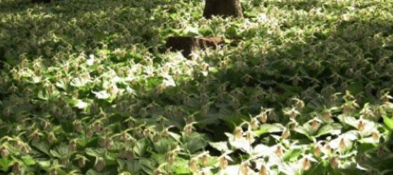 綱木クマガイソウ群落は故平子長雄さんが、綱木集落にあったクマガイソウを自宅の裏山に植え、約10年かけて増やし、見事な群落となったもの。2014年石住綱木地区住民や、石住地区、田人地区の方々で構成する「綱木クマガイソウを守る会」を発足させ、以降毎年、守る会会員の手で管理が行われ現在は約5万株にまで増えています。  プロジェクト終了後、2月から3月にかけて発送予定です。
