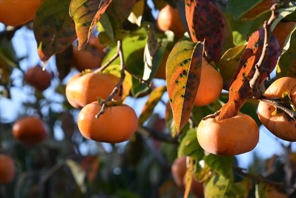 福島県本宮市の柿でワインを作りたい!!