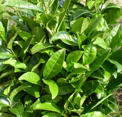 お茶の自然栽培の普及